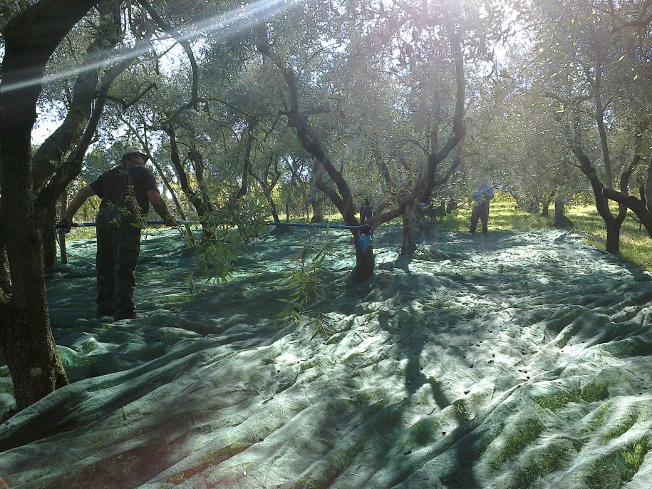 Person harvesting olives in grove with nets and beautiful light filtering through the trees