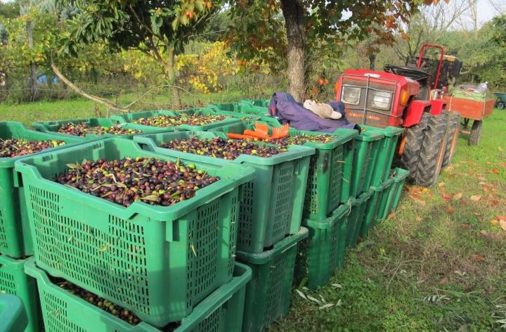 sanpoggio-trattorino-olives-ms-2016-10-24.jpg